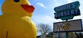 What's A Giant Duck Doing At Barnes Nursery?